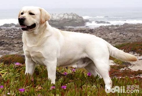 拉布拉多犬价格 拉布拉多犬多少钱