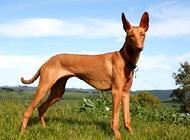 猎犬品种有哪些?六大猎犬品种介绍