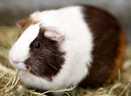 荷兰猪寿命多长?荷兰猪寿命