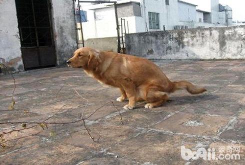 狗狗便秘的原因和改善方法-轻博客