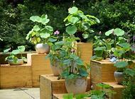 碗莲的种植方法都有哪些?