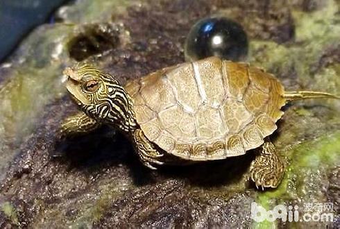 小乌龟冬眠了怎么办_乌龟不吃东西怎么办?乌龟不吃东西原因分析|爬虫常见病症-波奇 ...