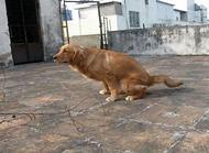 狗狗便秘的原因和改善方法