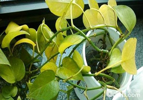绿萝叶子发黄是什么原因导致的?