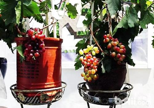 家庭葡萄种植技术方法介绍