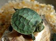 巴西龟不吃东西怎么办?巴西龟不吃东西的原因有哪些?
