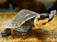 猪鼻龟的饲养方法有哪些?猪鼻龟饲养技巧