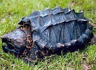 大鳄龟寿命有多长?大鳄龟怎么养?