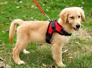 怎么样可以让狗狗习惯牵引绳?