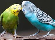 虎皮鸚鵡飼養方式,虎皮鸚鵡飼養技巧