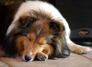 狗智商排名 你家狗智商排名多少
