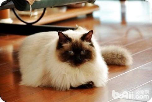 布偶猫重点色好吗?布偶猫重点色详细介绍?