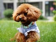 小狗发烧怎么判断?小狗发烧的症状有哪些