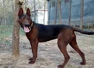 苏联红犬多少钱一只?苏联红犬价格盘点