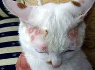 如何治疗猫癣?猫癣会传染给人吗?