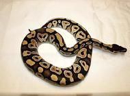宠物蛇咬人吗?关于蛇的七大误区