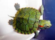 巴西龟怎样换水?巴西龟换水方法