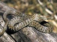 白条锦蛇怎么养?白条锦蛇习性介绍