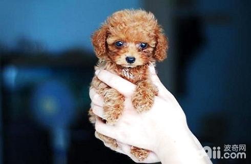 茶杯贵宾犬多少钱一只