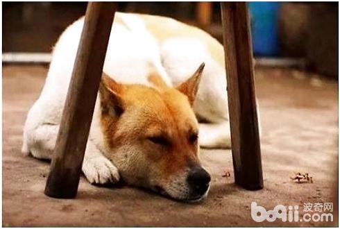 中华田园犬禁养