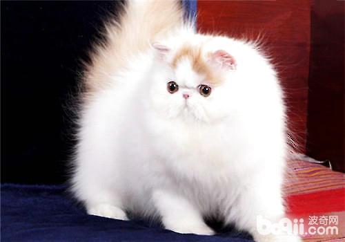 加菲猫和波斯猫哪个好图片