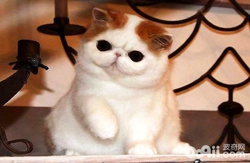 加菲猫跟波斯猫的区别图片