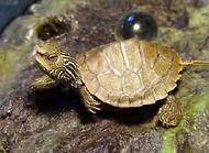 乌龟什么时候冬眠?乌龟冬眠时间