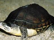 安南龟怎么养?安南龟饲养