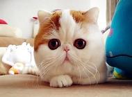 加菲猫(异国短毛猫)什么价格?