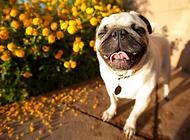 怎么知道巴哥犬是否纯种?