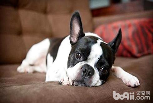 狗吃巧克力为什么会死