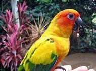 小太阳鹦鹉多少钱一只?小太阳鹦鹉价格