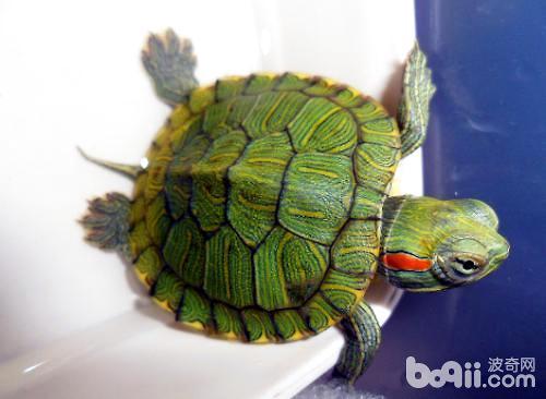 巴西龟 (2).jpg
