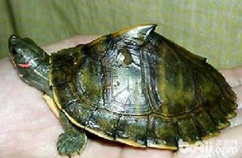 印度龟.jpg