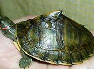 市面上最常见的乌龟有哪些?
