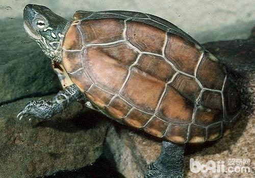 草龟.jpg