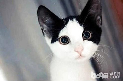 奶牛猫是什么品种