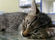 貓為什么會得白血???貓白血病預防方法