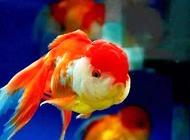 如何喂养金鱼?