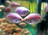 家里养什么鱼好?适合家养的几种鱼