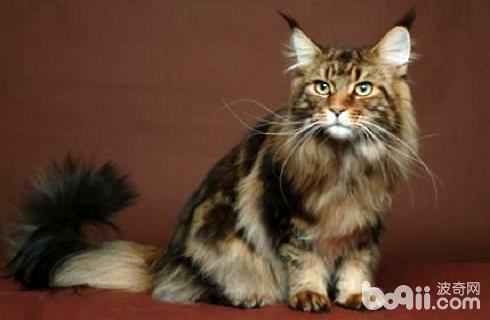 西伯利亚猫多少钱一只