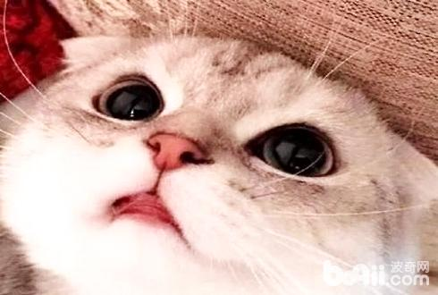 十大人气最高宠物猫排名 有你想养的猫咪吗