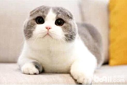 苏格兰折耳猫多少钱一只 苏格兰折耳猫价格盘点