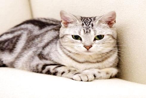虎斑猫多少钱一只 怎么挑选一只好的虎斑猫