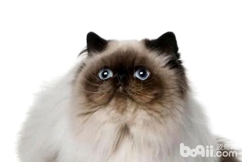 喜马拉雅猫怎么样 喜马拉雅猫好养吗