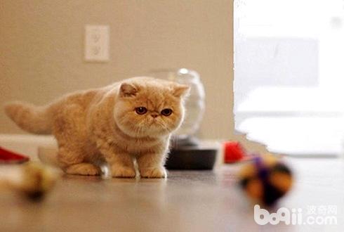 加菲猫多少钱一只 加菲猫价格盘点