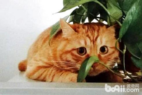 橘猫详细介绍 橘猫世界大揭秘