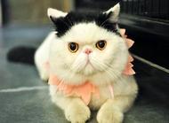 异国短毛猫好养吗 异国短毛猫饲养须知