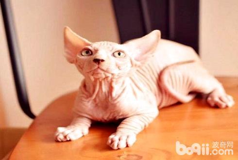 无毛猫性格怎么样 无毛猫性格特点介绍
