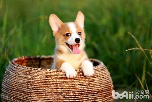 常见的宠物狗品种及价格介绍